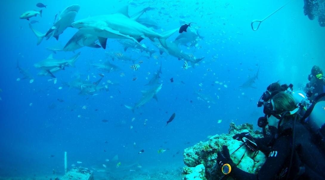 A volunteer goes diving with sharks during an adventure holiday in Fiji at our Conservation Project.